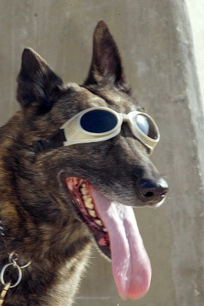 Zorro relaxes in his sun goggles after a vigorous afternoon of training (U.S. Air Force photo by Senior Airman Lakisha Croley)